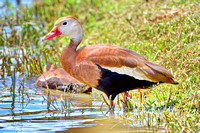 Black- Bellied Whistling-Duck